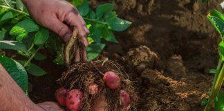 Desarrollan nuevas variedades comerciales de papas resistentes al estrés hídrico