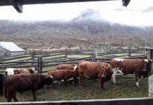 SAG trabaja en terreno para detectar Tuberculosis Bovina en la región de Aysén