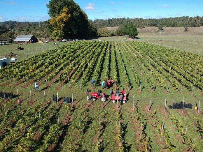 Viña Casa Klocker Prambs de Frutillar marca hito histórico con la primera vendimia y vinificación de su proyecto de elaboración de vinos espumantes