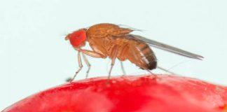 Ante la presencia de mosca de alas manchadas en la región Metropolitana INIA La Platina hace llamado a tomar medidas preventivas