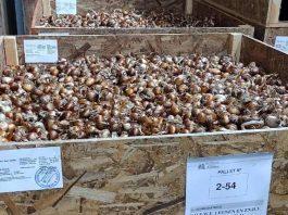 Proyectan crecimiento en exportaciones de bulbos de flores certificadas por el SAG con destino a Países Bajos