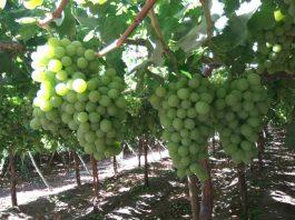 Corfo Atacama abre concurso para apoyar a productores de uva de mesa