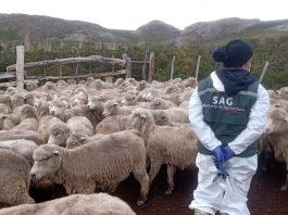 Más once mil animales han sido atendidos gracias al componente sanitario del Programa Ovino que ejecuta el SAG