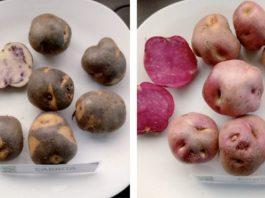 Presentan características morfológicas, productivas y alimenticias de 4 variedades nativas de papa chilota