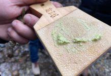 Avanza la producción de wasabi chileno con un fuerte interés desde Miami