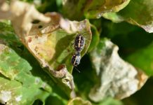 INIA y FIA presentaron estrategia sustentablepara controlar plaga que afecta hortalizas