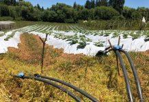 AGRICULTORES RECIBEN OBRAS DE RIEGO PARA MEJORAR PRODUCTIVIDAD El riego se ha transformado en uno de los ejes estratégicos, para avanzar hacia un desarrollo competitivo y sustentable de la pequeña agricultura.