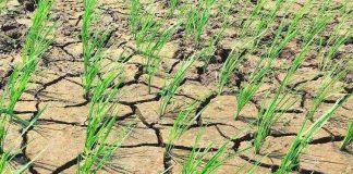 Investigación financiada por la National Science Foundation (NFS) y colaboración internacional busca entender cómo las plantas perciben la sequía y falta de nutrientes Proyecto se desarrollará hasta el 2023 y participan investigadores de Chile, Estados Unidos y Filipinas, quienes buscan entender cómo las plantasperciben la sequía y variaciones en la concentración de nitrógeno de manera simultánea
