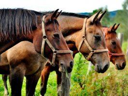 Especialistas de la Facultad de Ciencias Veterinarias UdeC estudian virus único en el mundo que afectaría a caballos La investigación en la que también participan profesionales veterinarios nacionales e internacionales, tiene un plazo de realización de 3 años, entre 2020 y 2023.-