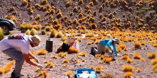 Investigadores buscan recuperar la papa del desierto resistente a la sequía