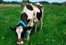 INIA busca alternativas integradas para disminuir emisiones de metano entérico en la producción de leche