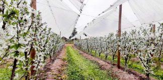 En un 83% aumentó el volumen de venta de cerezas: Chile se posiciona como líder en la exportación de esta fruta