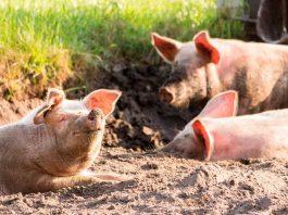 Facultad de Ciencias Veterinarias UdeC se une a los esfuerzos por evitar que ingrese al país la Peste Porcina Africana