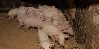 SAG levanta alerta y redobla inspección en frontera tras foco de Peste Porcina Africana en República Dominicana