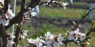 Gracias al cambio climático, florecen los primeros almendros en latitudes extremas
