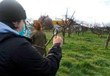 Mattheínos profundizaron en el manejo del ataque del cancro Europeo en el manzano
