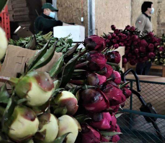 México es el próximo destino para peonias de Aysén