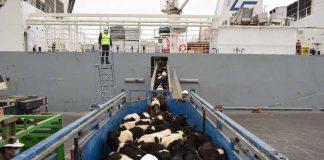 Talcahuano se consolida como alternativa para exportación ganadera