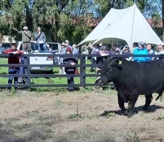 Día del Toro: El próximo viernes 8 de octubre se realizará remate especial de reproductores en la feria Fegosa de Purranque