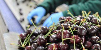 Exportaciones de frutas chilenas temporada 2020-2021 terminan con leve alza de 1,2%